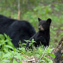 Black Bear - Great Smoky Mountains NP, TN