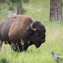 Bison - Custer SP - SD