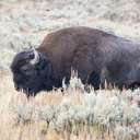 Bison - Yellowstone NP - WY