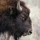 Bison - Grand Teton NP - WY