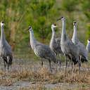 Sandhill Crane - Hiwassee WR, TN