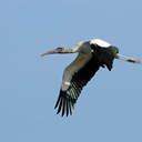 Wood Stork - Harris Neck NWR, GA