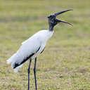 Wood Stork - Viera Wetlands, FL