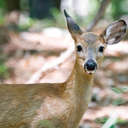 White-tailed Deer - Newman Wetlands, GA