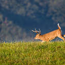 White-tailed Deer - Great Smoky Mountains NP, TN