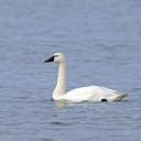 Tundra Swan - Pea Island NWR, NC
