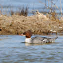 Common Merganser - Pea Island NWR, NC