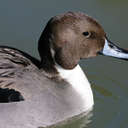 Pintail - Sylvan Heights, NC