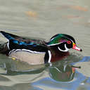 Wood Duck - Sylvan Heights, NC