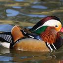 Mandarin Duck - Sylvan Heights, NC