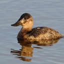 Ruddy Duck - Chincoteague NWR, VA