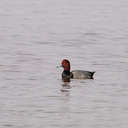 Red Head Duck - Pea Island NWR, NC