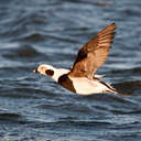 Long-tailed Duck - Barnegat, NJ