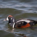 Harlequin Duck - Barnegat, NJ