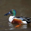 Northern Shoveler - Chincoteague NWR, VA