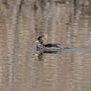 Hooded Merganser - Lake Biggins, VA