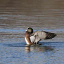 Wigeon - Lake Biggins, VA