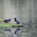 Wood Duck - Little Mulberry Park, GA