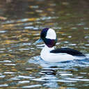 Bufflehead - Chincoteague NWR, VA