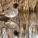 Green-winged Teal - Bombay Hook NWR, DE