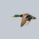 Mallard - Bombay Hook NWR, DE