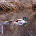 Mallard - Chincoteague NWR, VA
