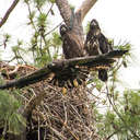Bald Eagle First Flight - Jamestown, VA