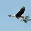 Bald Eagle - Chincoteague NWR, VA