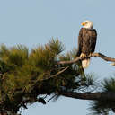 Bald Eagle - Chincoteague NWR, VA