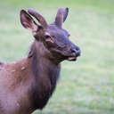 Elk - Great Smoky Mountains NP, NC