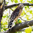 Red-shouldered Hawk - GSMNP, TN