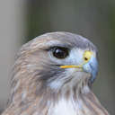 Red-tailed Hawk - Smithgall Woods, GA