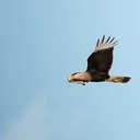 Crested Caracara - Viera Wetlands, FL