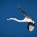 Great Egret - Mackay Island NWR, NC