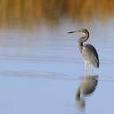 Tricolored Heron - Pea Island NWR, NC