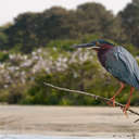 Green Heron - Harris Neck NWR, GA