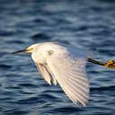 Snowy Egret - Savannah NWR, SC