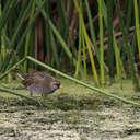 Sora - Viera Wetlands, FL