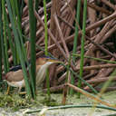 Least Bittern - Viera Wetlands, FL