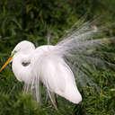 Great Egret - Gatorland Orlando, FL