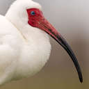 White Ibis - Venice Rookery, FL