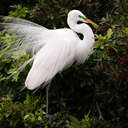 Great Egret - Venice Rookery, FL