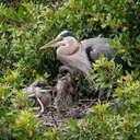 Great Blue Heron - Venice Rookery, FL