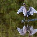 Reddish Egret - Ding Darling NWR, FL