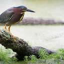 Green Heron - Newport News Park, VA