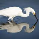 Snowy Egret - Merritt Island NWR, FL