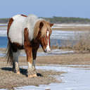 Wild Horse - Chincoteague NWR, MD