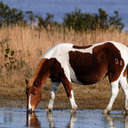 Wild Horse - Chincoteague NWR, VA