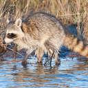 Raccoon - Chincoteague NWR, VA
