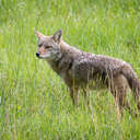 Coyote - Great Smoky Mountains NP, TN